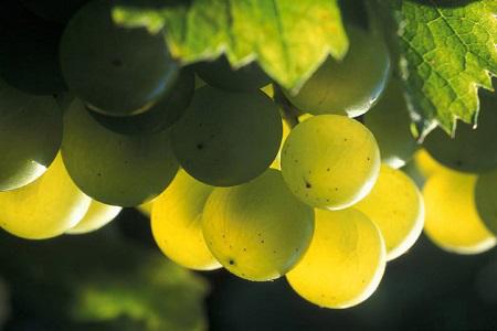 长相思葡萄